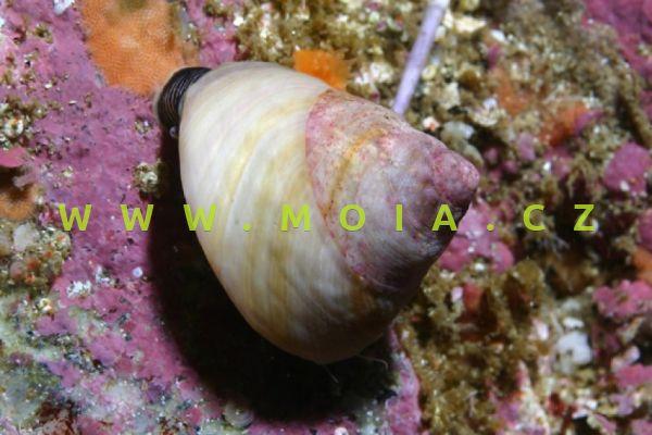 Tegula fasciata - monodonta hladká