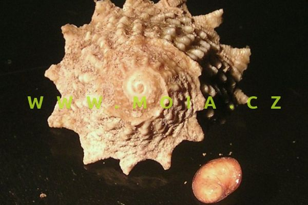 Astralium phoebium  - donka ostnitá