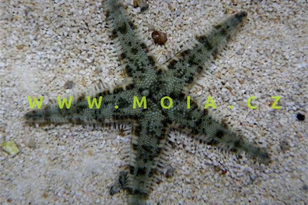 Archaster angulatus  - hvězdice   hranatá