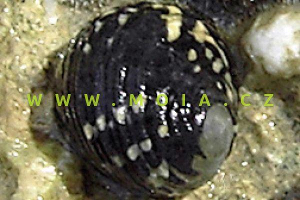 Nerita tessellata - zubovec kostkovaný