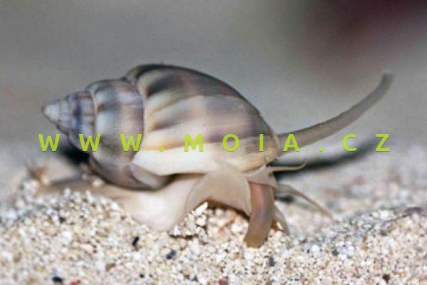 Nassarius distortus  – vršatka  kroucená