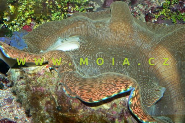 Tridacna derasa – zéva hladká