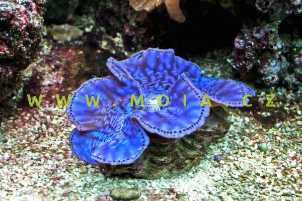 """Tridacna maxima  """"color"""" 9-11 cm – zéva velká"""