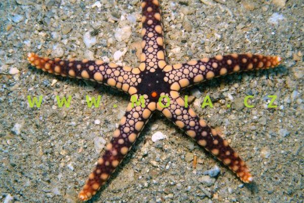 Celerina heffernani   - hvězdice   Heffernanova