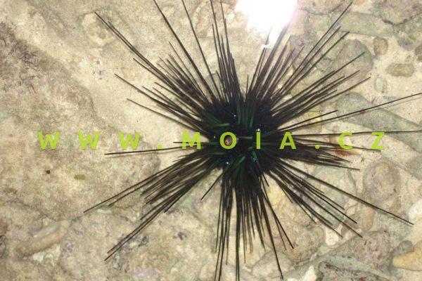 Diadema setosum  – ježovka diadémová