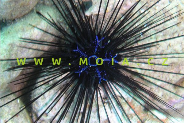 Diadema savignyi - ježovka proužkovaná