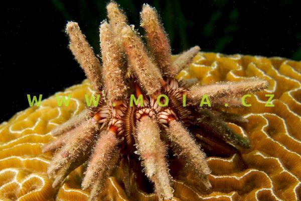 Eucidaris tribuloides - ježovka olivovězelená