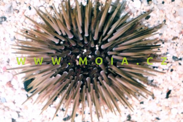 Echinometra mathaei - ježovka Mathaeova