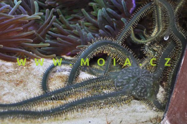 Ophiarachna incrassata - hadice olivovězelená