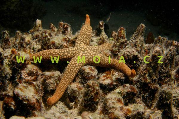 Nardoa novaecaledoniae – hvězdice novokaledonská