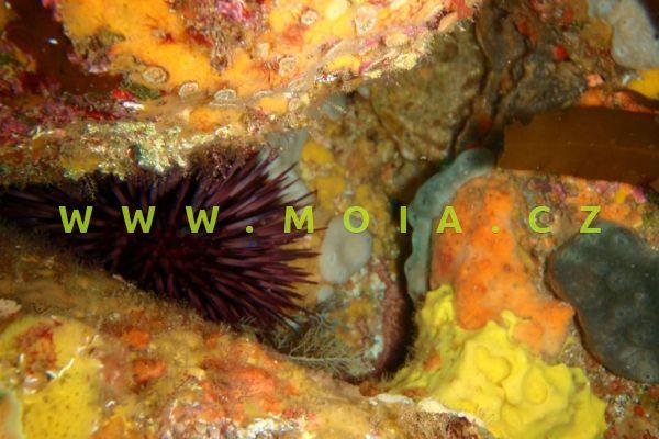 Heliocidaris crassispina  - ježovka    tlustotrnná