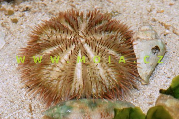 """Lytechinus variegatus """"purple"""" - ježovka   proměnlivá"""
