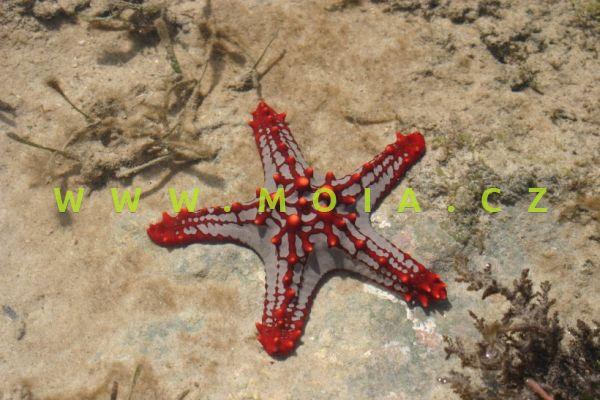 Protoreaster linckii - hvězdice Linckova