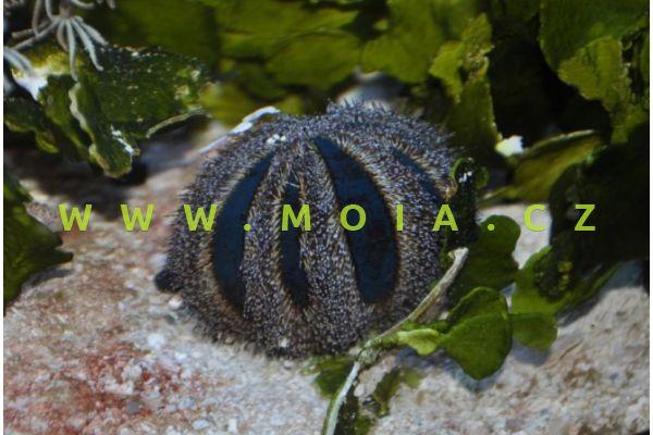 Mespilia globulus  – ježovka kulovitá