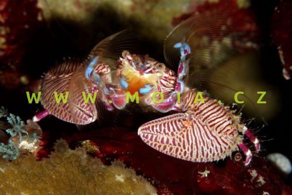 Petrolisthes bolivarensis –   krab venezuelský
