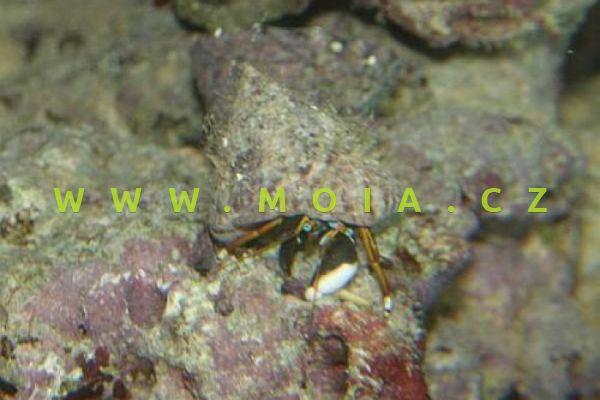 Calcinus talismani - krab