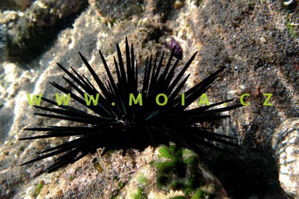 Stomopneustes variolaris  - ježovka