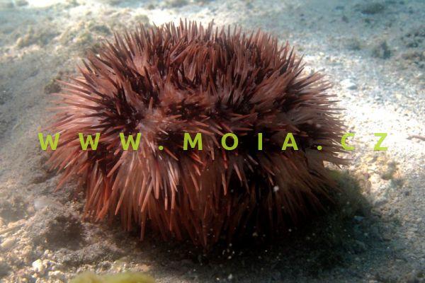 Pseudoboletia maculata   -    ježovka skvrnitá