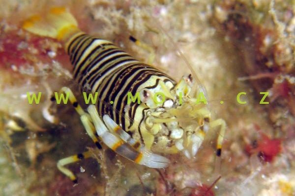 Gnathophyllum americanum - kreveta   americká