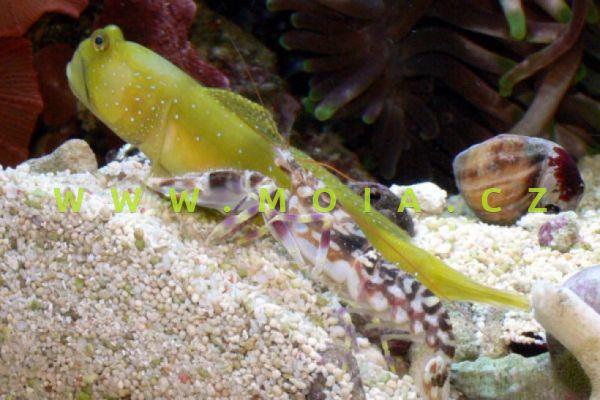 Alpheus bellulus  - kreveta  tygrovaná