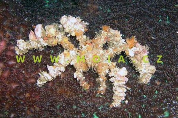 "Camposcia retusa ""decorator"" –   krab pavoučí"