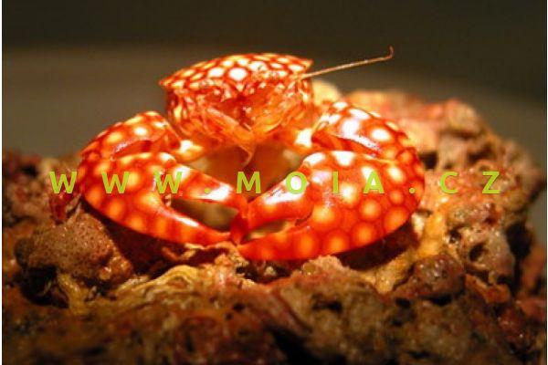 Porcellana sayana – krab  písmenkový