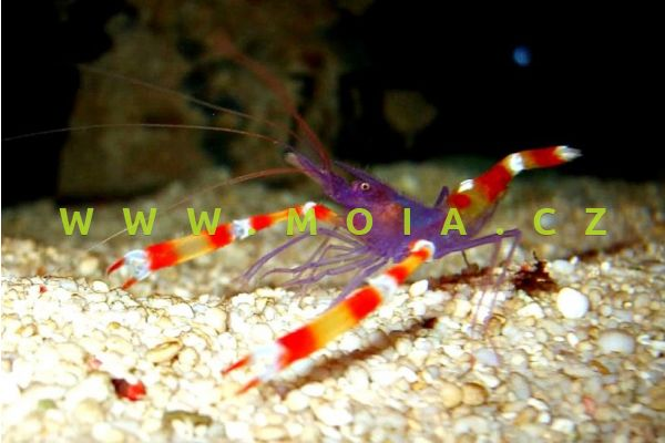 Stenopus tenuirostris  – kreveta   tenkozobcová
