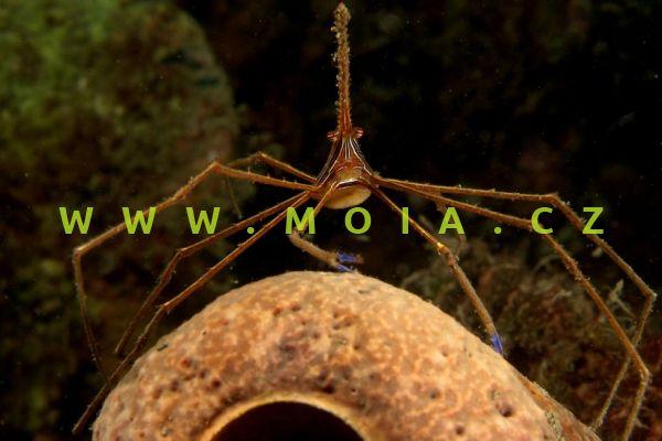 Stenorhynchus seticornis  – kreveta   šípovitá