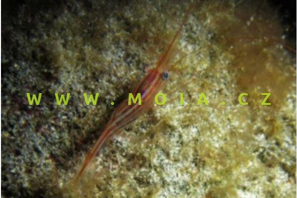 Plesionika narval   – kreveta jednorohá