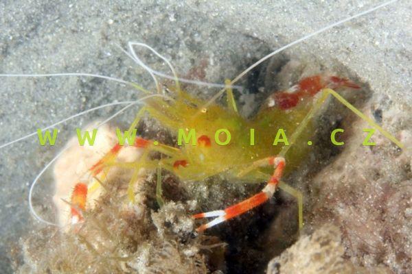 Stenopus scutellatus  – kreveta zlatokorálová