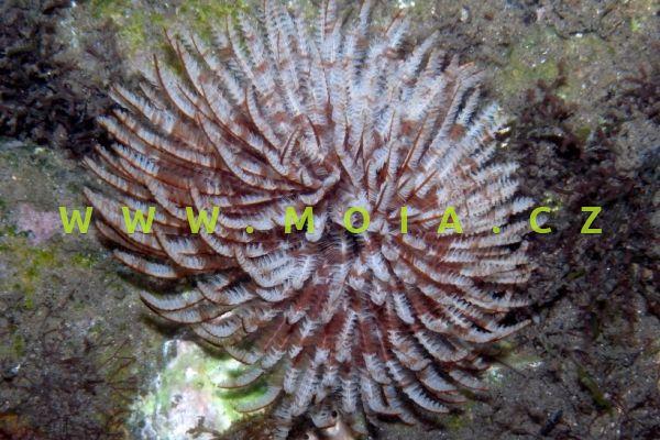 Sabellastarte sanctijosephi - rournatec   svatojosefínský