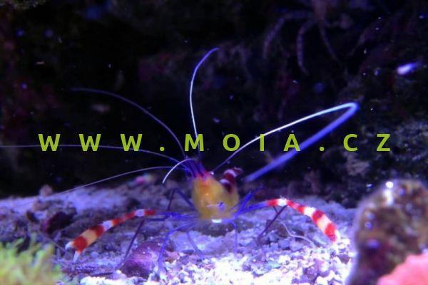 Stenopus cyanoscelis  – kreveta    modronohá