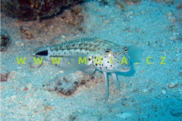 Parapercis cephalopunctata  - písečník  jazykoskvrnný