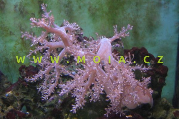 Capnella imbricata  - laločník žlábkovaný