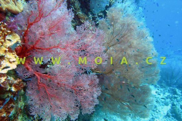 "Melithaea sp. ""ultra color"" – rohovitka"