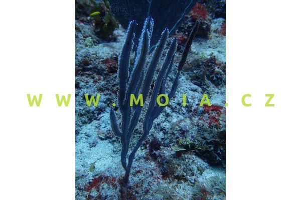 Pterogorgia guadalupensis  - rohovitka guadelupská