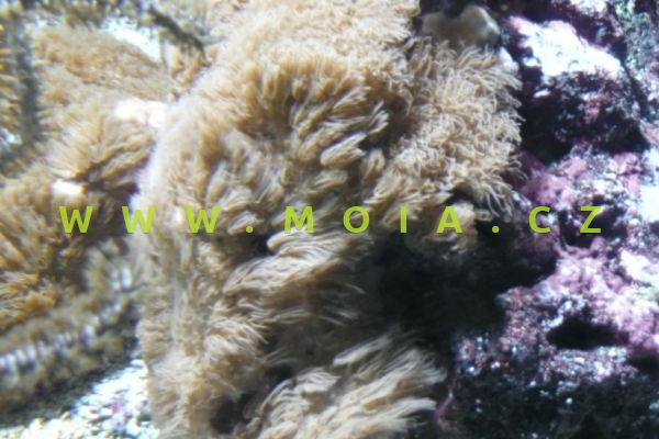 Erythropodium caribaeorum - rohovitka karibská