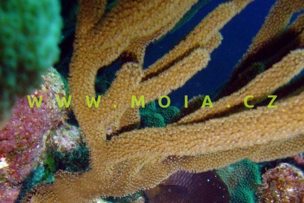"Pseudoplexaura sp. ""yellow"" - trsovník"