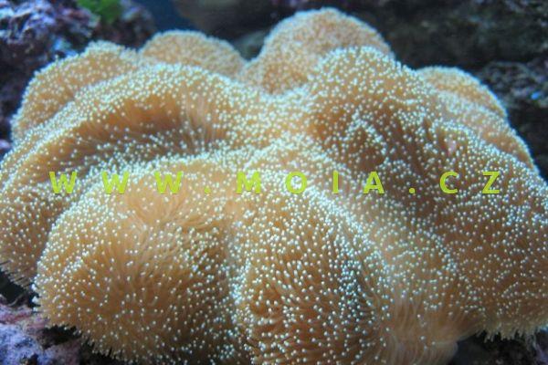 Sarcophyton tenuispiculatum - laločnice velkotrnná