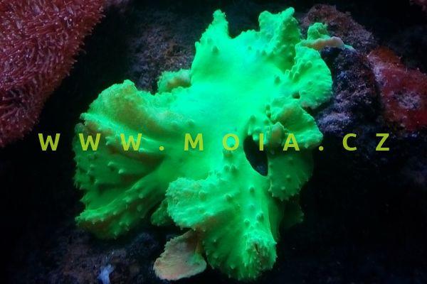 "Sinularia dura ""green"" - laločnice   tuhá"