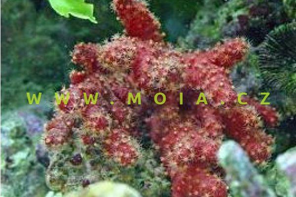 "Nephthyigorgia sp. ""red"" – laločnice   rudá"