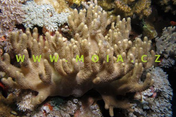 Sinularia polydactyla - laločnice  mnohoprstá