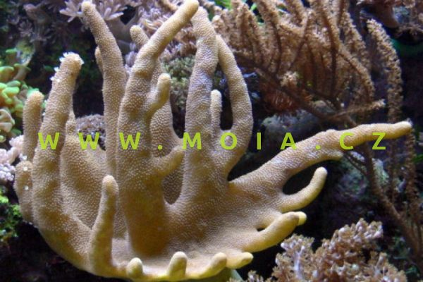"""Lobophytum sp. """"devil finger"""" – laločnice"""