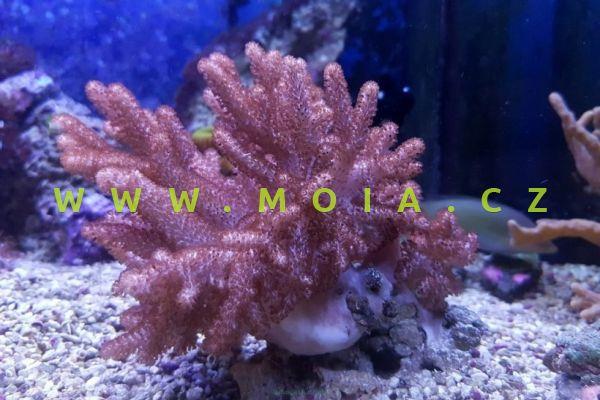 Sinularia brassica – laločnice členitá