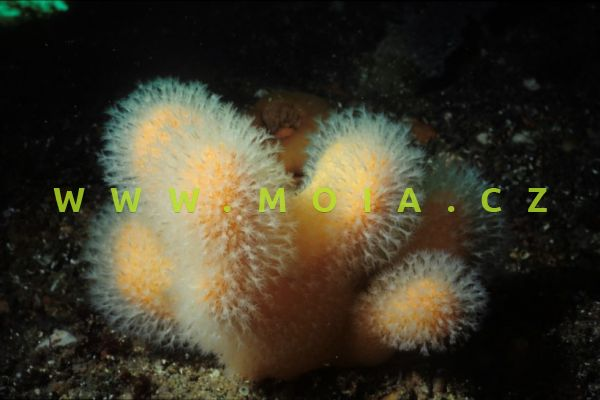 """Alcyonium sp. """"red"""" – laločnice"""