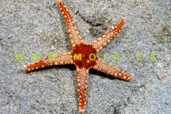 Fromia monilis - hvězdice operlená