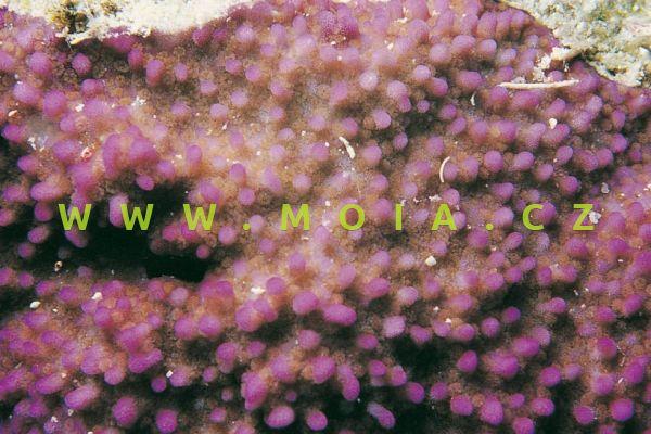 "Montipora tuberculosa ""pink, green polyps"" - montipóra hrbolatá"