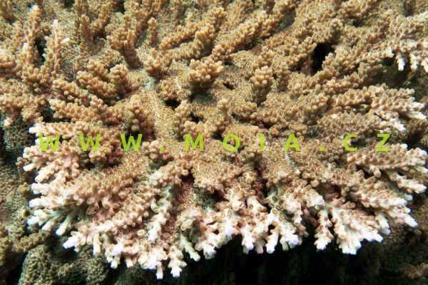Acropora solitaryensis – větevník solitérní