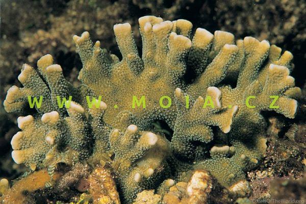 "Montipora digitata ""green"" – montipóra prstovitá"