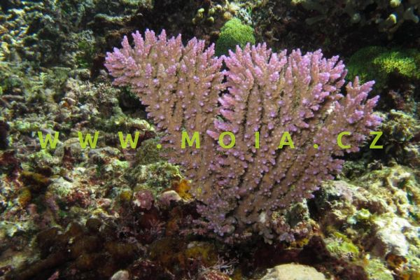 Acropora inermis – větevník bezbranný